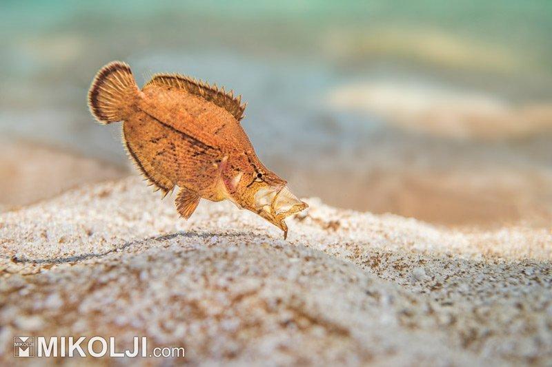 Amazon Leaffish in the Wild Mikolji