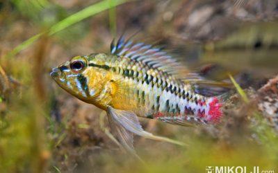 Apistogramma hongsloi Dwarf Cichlids in the Wild
