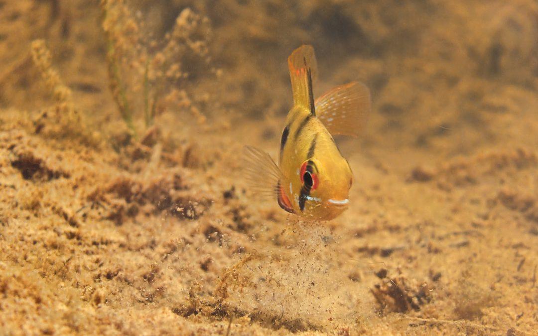 Ram Cichlids Mikrogeophagus Ramirezi in the Wild