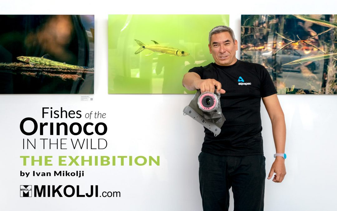 Fishes of the Orinoco in the Wild – The Exhibition – at the Colombian Consulate in Miami – October 2021